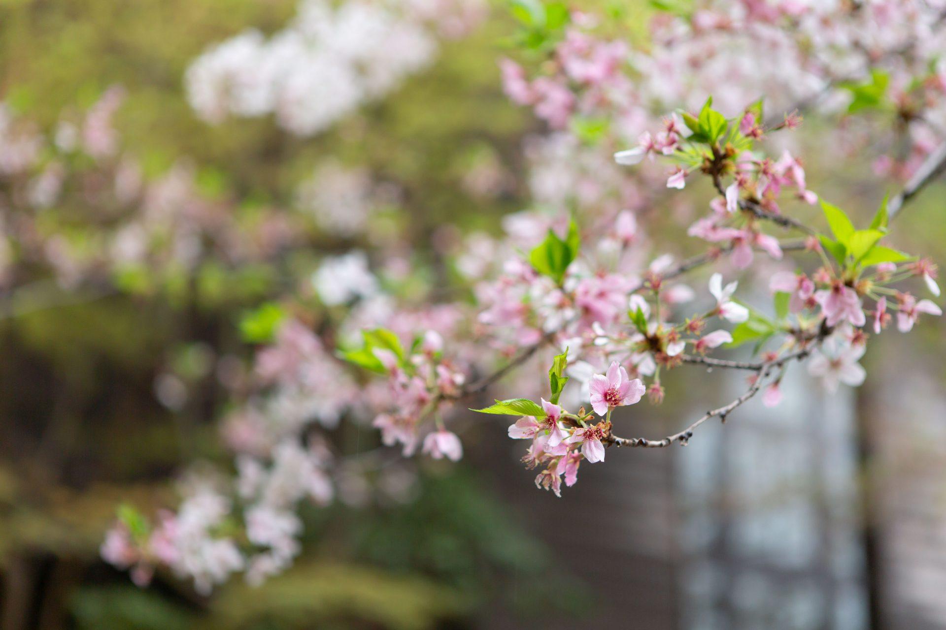 フォーチュンガーデン京都の桜が満開になる春の季節に行うナチュラルウェディング